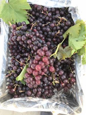 河北省唐山市樂亭縣玫瑰香葡萄 0.4-0.6斤 1次果 5%以下