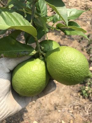 海南省海口市龍華區 尤力克檸檬果,海南農場種植。一級果1.6-3.0兩