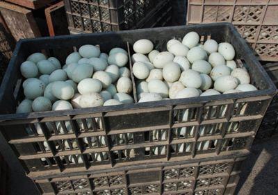 湖北省荊門市京山縣 綠色有機鴨蛋供應