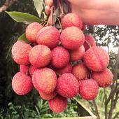 新鮮水果荔枝4斤裝果園現摘現發