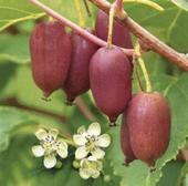 軟棗獼猴桃苗 嫁接苗帶種植資料包郵