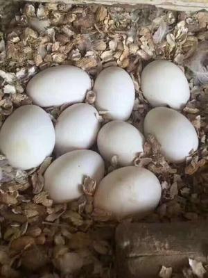 山東省威海市文登區鮮鵝蛋 食用 散裝