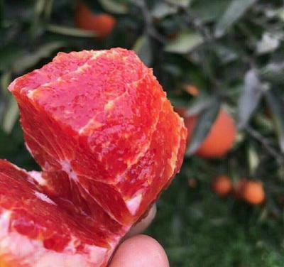 四川省成都市雙流縣塔羅科血橙8號苗 苗場直銷 塔羅科8號血橙 晚紅血橙