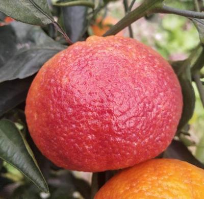 四川省成都市雙流縣 紅韻噴噴鼻柑 紅韻血柑 帶噴噴鼻味的雜交血橙晚熟新種類