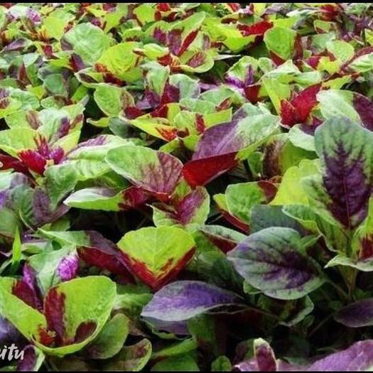 江蘇省蘇州市太倉市紅莧菜 紫紅 10-15cm