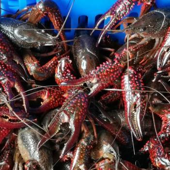 洪湖小龍蝦 紅蝦直銷