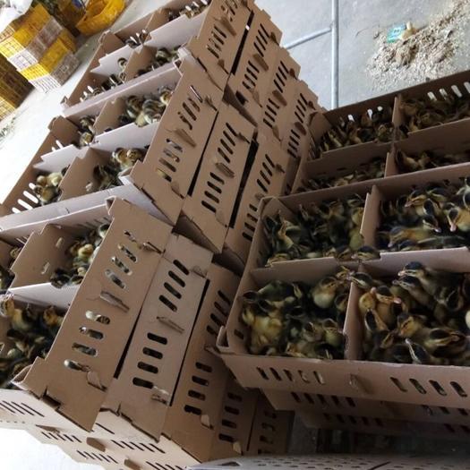 广西壮族自治区南宁市兴宁区 大种杂交鸭苗,全公苗包打疫苗,包运输成活。质量保证