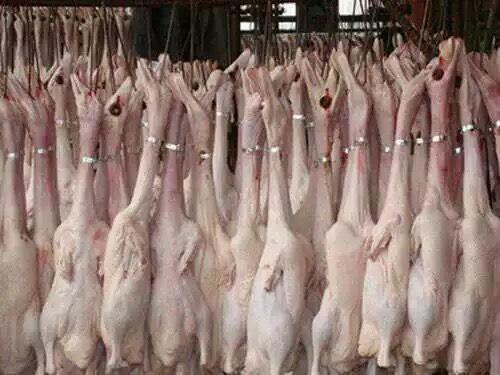 [白条鸭批发] 白条鸭樱桃谷瘦肉型新鲜鸭肉整鸭子价格14元/个