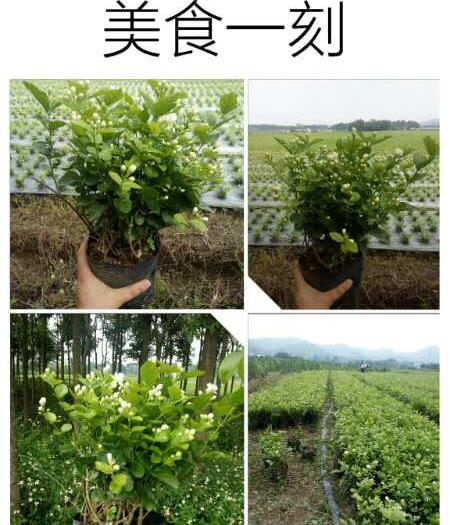 广西壮族自治区南宁市横县 茉莉花苗带花苞出售,可批发零售,