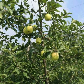 特价陕西青苹果五斤包邮九斤现摘新鲜夏红苹果渭南苹果