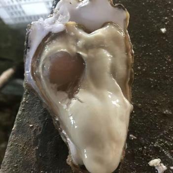 生蚝 乳山牡蛎 生长海域盐度适中水质肥沃 达到国家一级养殖水质标准