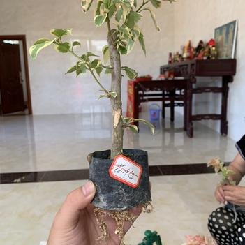 花葉紅三角梅袋苗