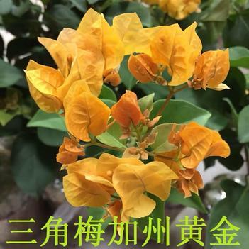 加州黃金三角梅袋苗