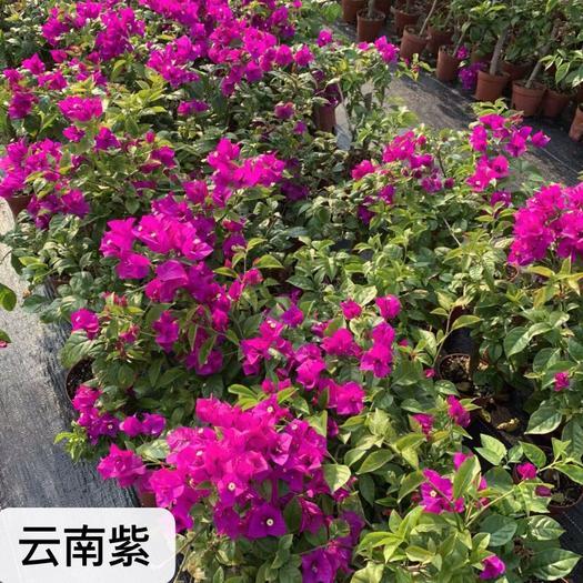 福建省漳州市龍文區 云南紫三角梅袋苗