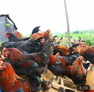 广西壮族自治区南宁市西乡塘区 黑羽土鸡苗 黑羽白肉鸡苗  黑鸡苗 公苗