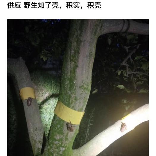 重庆市奉节县枳实 知了猴、蝉壳、积壳、金蝉、蝉蛹