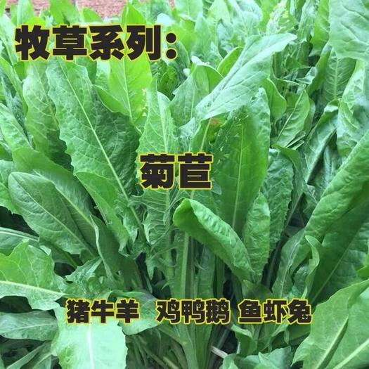 江蘇省宿遷市沭陽縣 菊苣種子