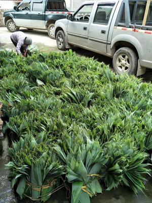 江西省景德鎮市浮梁縣 大量出售粽葉,質量定出路,大量粽葉批發零售
