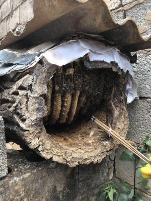 云南省楚雄彝族自治州祿豐縣 常年供應中華蜜蜂,正宗中蜂土蜂蜜,假一賠十