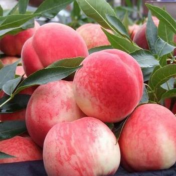 沂蒙山新鮮水蜜桃促銷價一箱9到12個單個平均0.5斤
