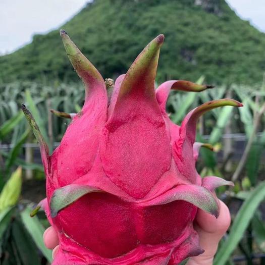 广西壮族自治区崇左市龙州县 火龙果金都一号,玫瑰香
