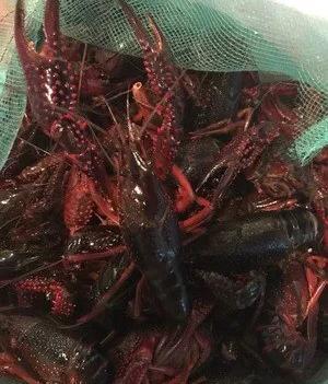 鮮活小龍蝦,物美價廉,歡迎來撩喲