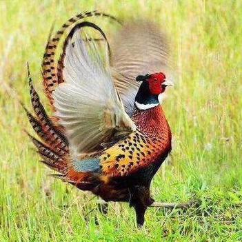 野山雞環頸雉雉雞七彩山雞全國發貨,包活到家