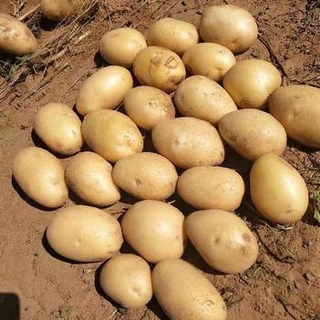 純沙地土豆