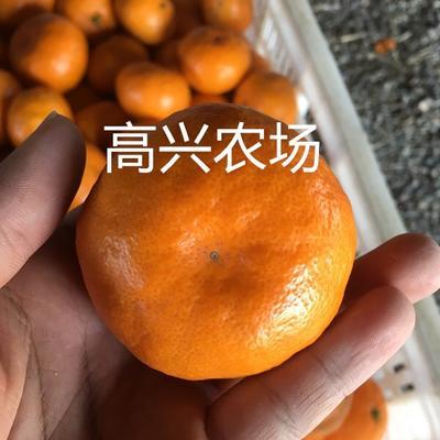 浙江省寧波市象山縣由良柑桔苗 象山由良柑橘枝條 由良苗 正宗象山枝條300一斤