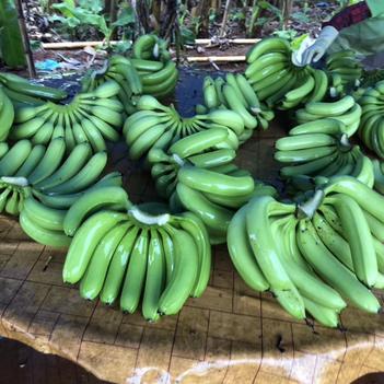 广东香蕉4号 今天刚刚忙完;才有空有分享