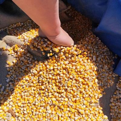 黑龍江省黑河市五大連池市玉米干糧 凈貨 水份<14%
