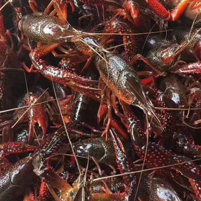 湖北省荊州市監利縣青紅蝦 精品湖蝦