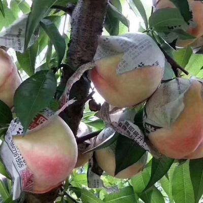 江蘇省無錫市錫山區 江蘇無錫陽山水蜜桃