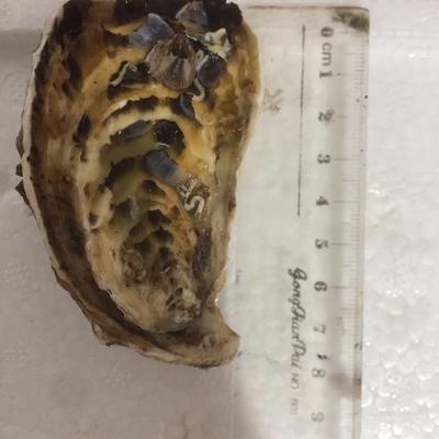 廣東省潮州市饒平縣汫洲大蠔 汫洲生蠔,殼薄肉厚,鮮甜嫩滑,當天捕撈