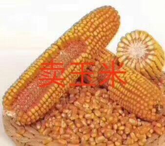 黑龍江省綏化市蘭西縣玉米干糧 國產二等糧1760