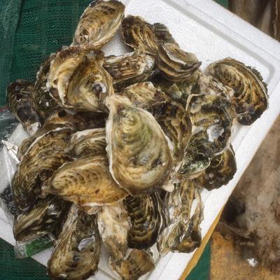 廣東省潮州市饒平縣 廣東潮州生蠔、牡蠣,殼薄肉厚、鮮甜、肥美