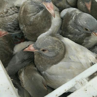 廣東省茂名市電白區 中鴿,灰鴿長期供應