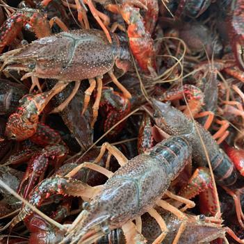 红壳小龙虾 5-7钱 稻田虾