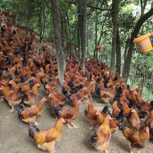廣西壯族自治區玉林市博白縣三黃雞 2-3斤 母