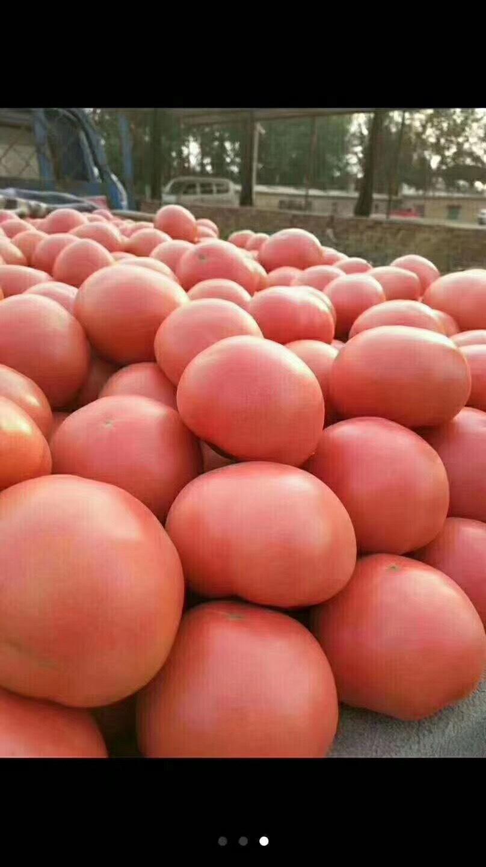 [大红西红柿批发] 陆地西红柿价格0.9元/斤