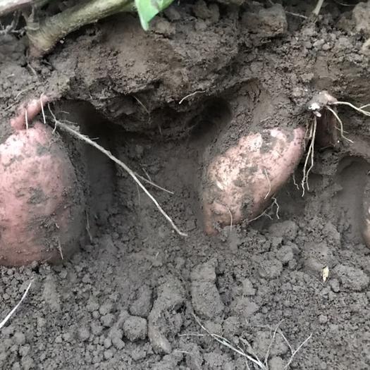 河南省商丘市睢陽區 自己農場種植百畝龍九紅薯將于7月份上市,要的速聯系!