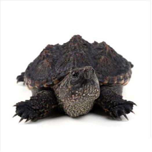 廣東省佛山市南海區 3-4CM小鱷龜活體外塘北美雜佛龜苗水龜小烏龜觀賞龜鱷魚龜風
