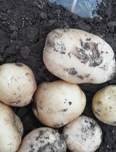 吉林省四平市梨樹縣 2019年新上市有機尤金885土豆單個重量在二兩半以上