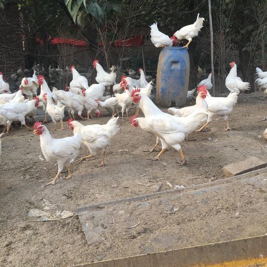 河北省石家莊市趙縣 散養白公雞