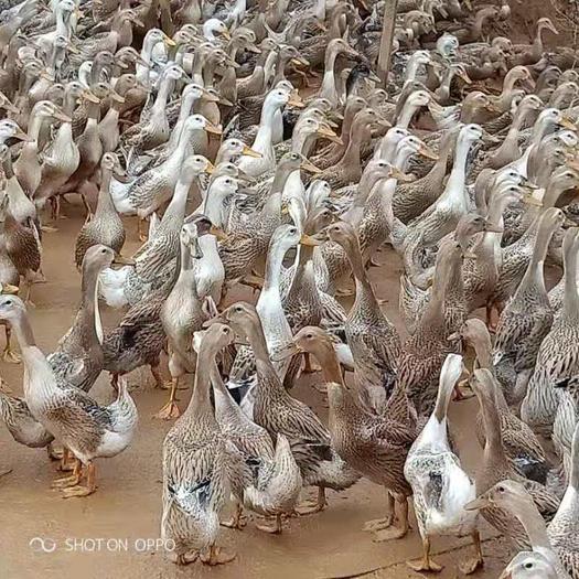 江西省宜春市高安市 毛白青殼青年鴨