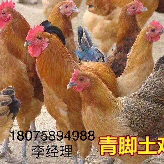湖南省衡陽市蒸湘區 青腳土雞苗正規廠家優質禽苗包打馬利克疫苗包路上存活