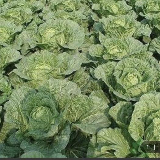 湖北省恩施土家族苗族自治州利川市 高白大白菜。