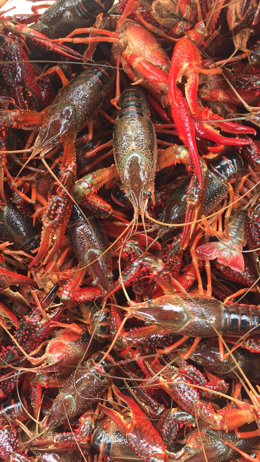 大量中红大红全新上市硬规格湖北小龙虾肉质饱满清澈淡水养殖
