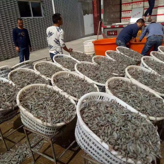 广西壮族自治区北海市合浦县 冰鲜基围虾,量大从优