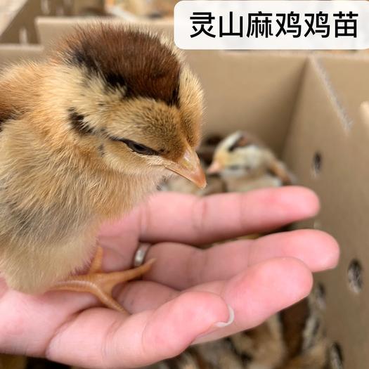 广东省广州市白云区 灵山麻鸡鸡苗 厂家直销 存活率高